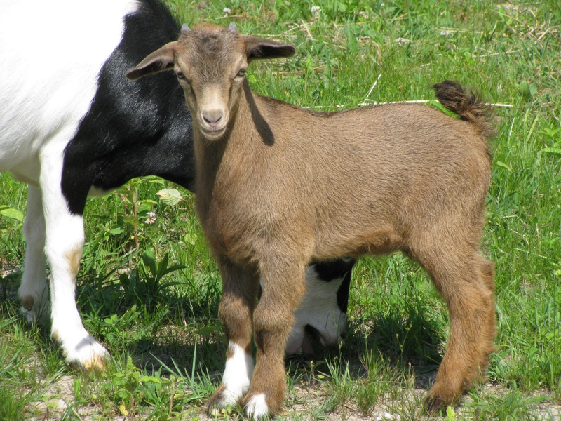 great site for loads of good goat info: http://www.jackmauldin.com/